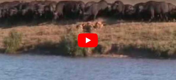 Buffels en leeuwen